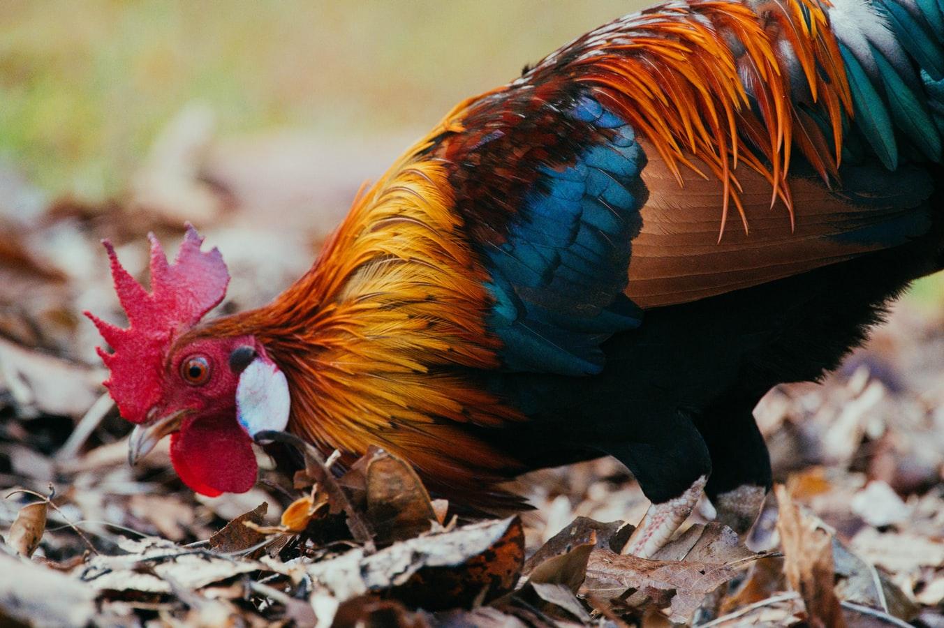 Situs Judi Sabung Ayam S128